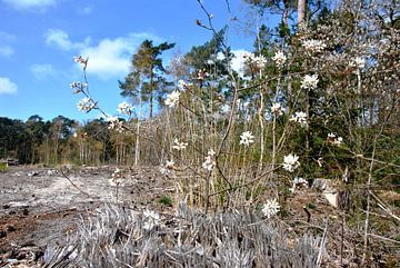 Bloesem in het bos van M de Vos