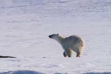 De IJsbeer snuffelt rond van Merijn Loch