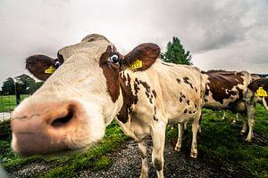 Koeien in de regen, Zoeterwoude 22-09-2018