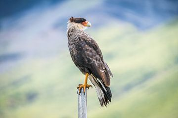 Portret van een grote Argentijnse vogel van Hege Knaven-van Dijke