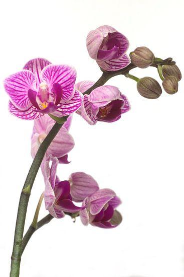 Prachtige paarse orchidee