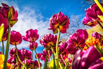Stralende paarse tulpen van Stedom Fotografie
