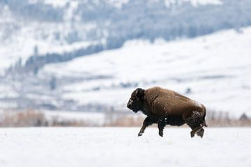 Amerikanischer Bison ( Bison bison ) gallopiert im Winter über die Hochebene des Yellowstone NP, wil von wunderbare Erde