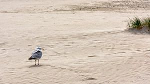 Zilvermeeuw, zand en strand sur