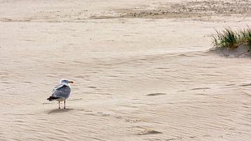 Zilvermeeuw, zand en strand van