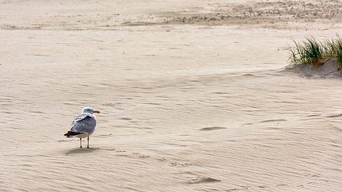 Zilvermeeuw, zand en strand