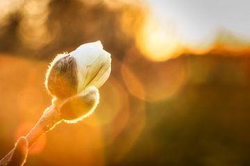 Magnolie in der Knospe während des Sonnenuntergangs von Jaimy Leemburg Photography