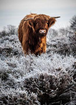schottischer Highlander von Durk-jan Veenstra