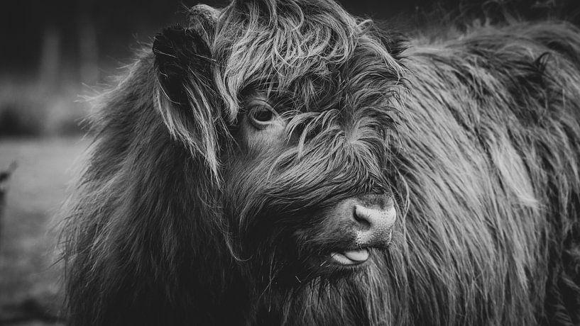 Close-up van een Schotse Hooglander Kalf in Nederland in zwart-wit van Maarten Oerlemans