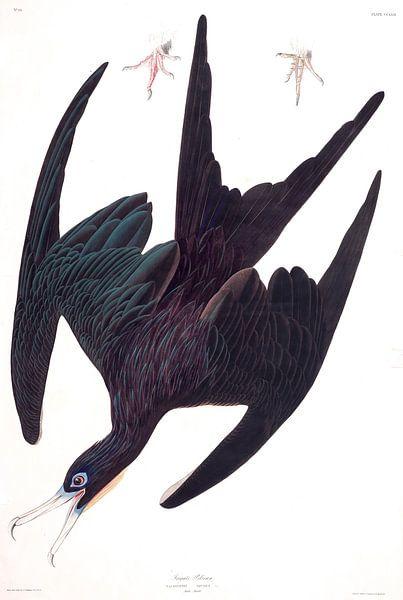 Fregata van Birds of America