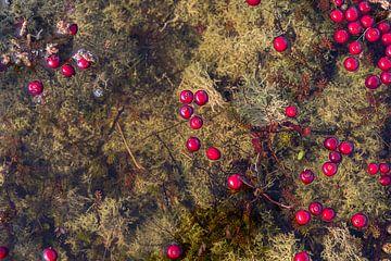 Drivende Cranberries Vlieland.