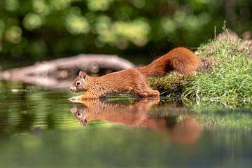 Eichhörnchen läuft auf dem Wasser von Anjella Buckens