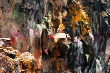 Papegaaiduiker in Schotland van Marcel van Berkel