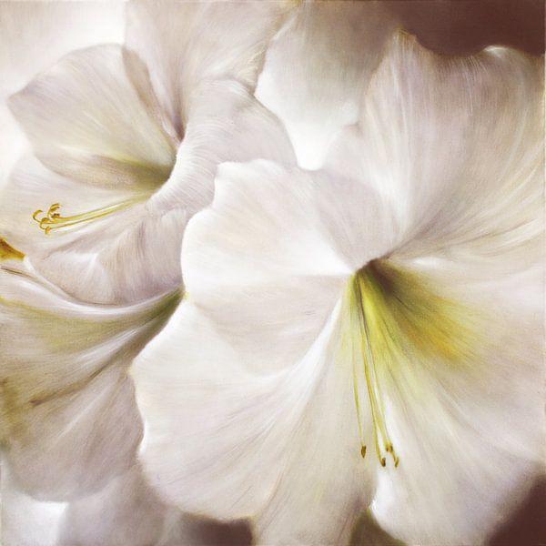 Weiße Amaryllis im Gegenlicht von Annette Schmucker