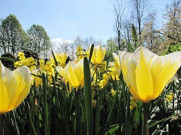Gele tulpen in de zon van Cristel Veefkind-Gous