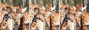 Triptychon zweier humorverliebter Giraffen von Excellent Photo