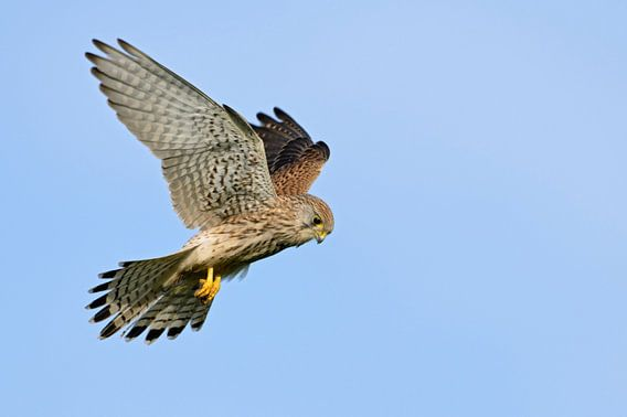 Kestrel (Falco tinnunculus) hovering at clear blue sky, Europe