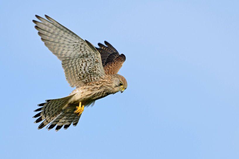Kestrel (Falco tinnunculus) hovering at clear blue sky, Europe van wunderbare Erde