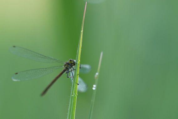 Dragonfly on grassy grass