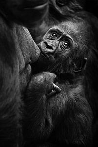 gorilla baby zuigt gulzig melk uit moeder's borst en kijkt bezorgd achterom, zwart-wit contrast foto van Michael Semenov