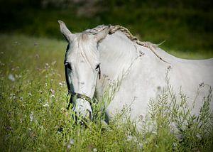 Andalusisch paard in de wei