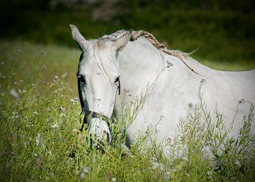 Andalusisch paard in de wei van Cristel Brouwer