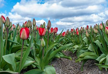 Tulips 2015 - 001 von Alex Hiemstra
