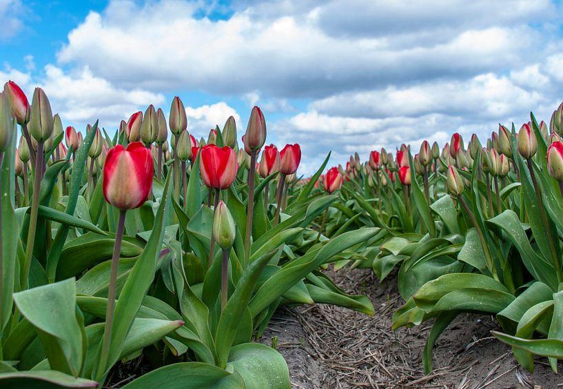 Tulpen 2015 - 001 van Alex Hiemstra