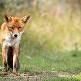 Roter Fuchs in der Natur von Inge van den Brande
