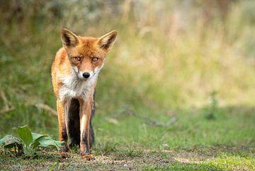 Renard roux dans la nature sur Inge van den Brande