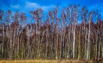 Birkenholz im Winter, Twiske, Niederlande von Rietje Bulthuis