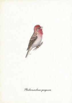 Roter Sperling von Jasper de Ruiter