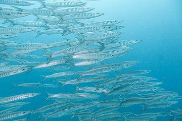 Barracuda's in Thailand von Daniëlle van der meule
