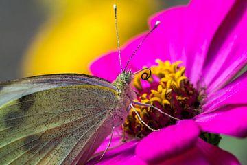 Lycaenidae-Schmetterling von Joost Potma