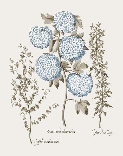 Basilius Besler-Tuinbroom Schneeball Viburnum Niedrig wachsendes alpines Brom von finemasterpiece