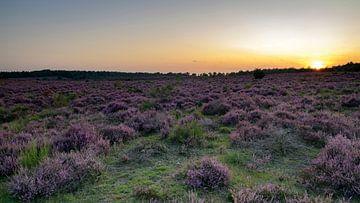 Heide in bloei van Wim van der Wind