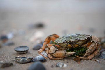 Eine Krabbe aus der Nordsee von Thomas Winters
