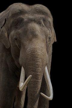 Eléphant d'Afrique, avec défenses sur Gert Hilbink