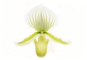 Orchidee in high key von Frouwkje Fotografie
