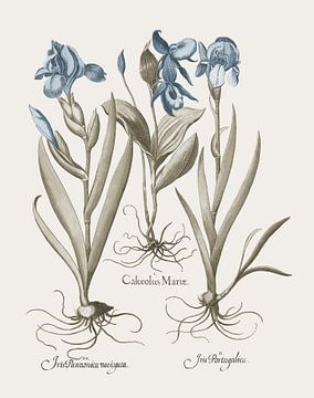 Basilius Besler-Iris und Lilie IV