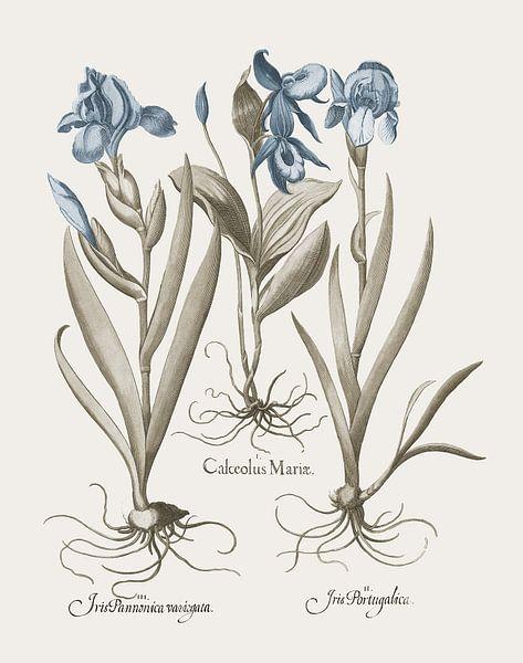 Basilius Besler-Iris und Lilie IV von finemasterpiece