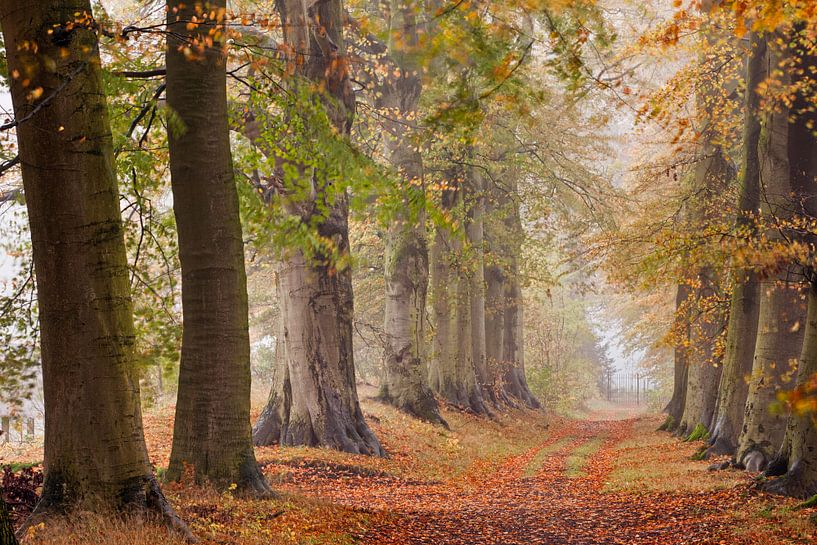 Avenue des hêtres, début de l'automne sur Frans Lemmens