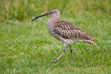 Brachvogel : Tierpark Blijdorp von Loek Lobel