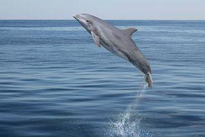 Der springende Delphin