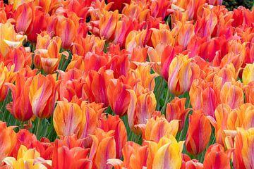 Feurige Tulpen von René Roelofsen