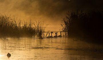 Zwanen in de gouden ochtend sur jeroen akkerman