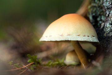 Mushroom 15 van Desh amer