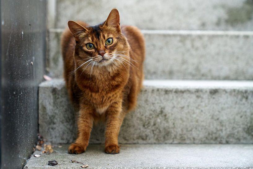 Somali-Katze von D Art
