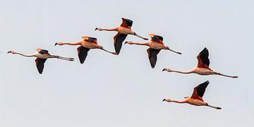 Chileense flamingo's II von Michiel Leegerstee
