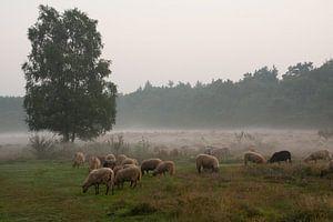 Heide landschap met schapen. van Tanja de Mooij